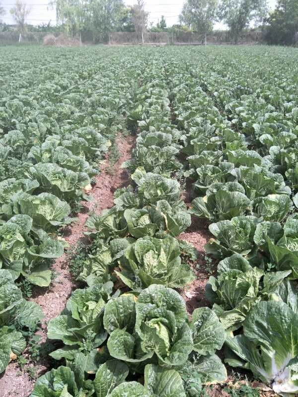 No Pesticide Fresh Chinese Cabbage Grows In Village Without Pollution