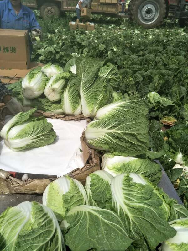 Agricultural Clean Fresh Chinese Cabbage Very Low In Calories 1kg / Per